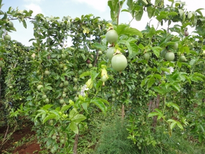 Farmers in Mbeere reaping the benefits of PAMA project, an FCI intervention programme