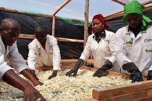 Cassava Village Processing Programme (CVPP)