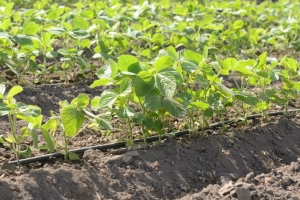 KENYA | Soy & Climbing Beans Commercialization (SoCo) Project