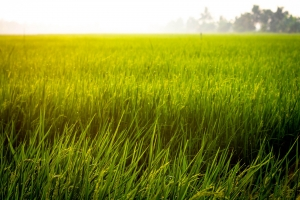 TANZANIA | Rice Market Development Programme